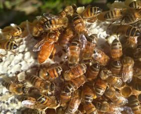 Bičių motinėlės (Italijos, Bakfastas, Karnika)