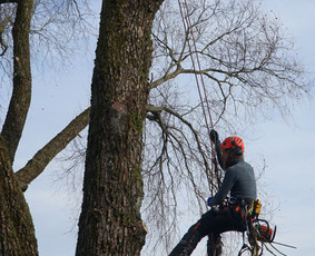 Medžių pjovimas ir genėjimas