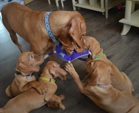 Šunų veislynas