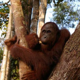 Borneo sala