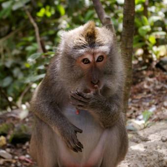 Beždžionių miške, Ubud, Balio sala