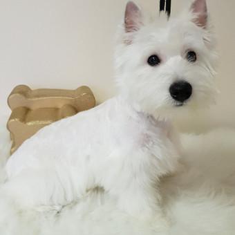 Šuniukų kirpykla Gilė / Meilė Griauzdienė / Darbų pavyzdys ID 662747