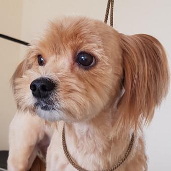 Šuniukų kirpykla Gilė / Meilė Griauzdienė / Darbų pavyzdys ID 662753
