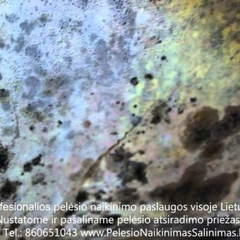 Pelėsio naikinimas-šalinimas nuo sienų, lubų Vilniuje ir Kaune. Priežaščių likvidavimas. Darbus atliekame visoje Lietuvoje! Tel.: +37060651043