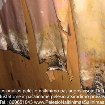 Pelėsio naikinimas-šalinimas nuo sienų Vilniuje ir Kaune. Priežaščių likvidavimas. Darbus atliekame visoje Lietuvoje! Tel.: +37060651043