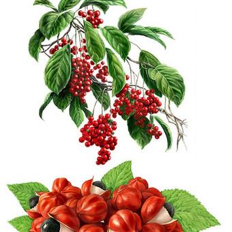Iliustracija - gydomieji augalai, piešinys tinklalapiui.
